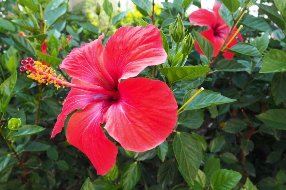 Китайская роза – уход за цветком в домашних условиях