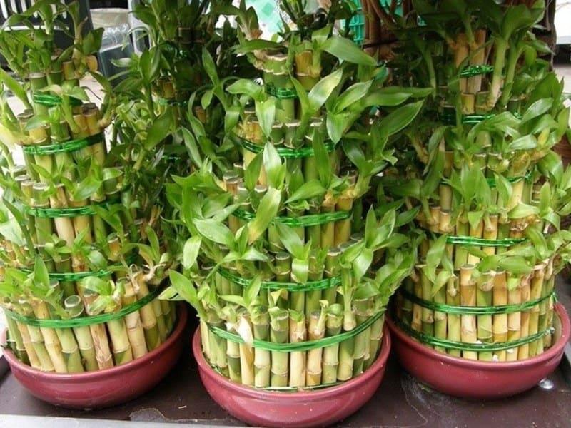 Родина бамбука комнатного