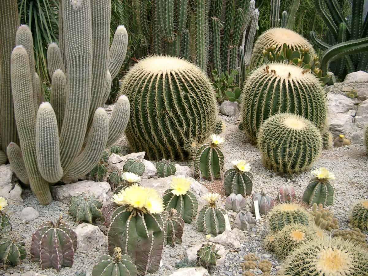 самые популярные виды кактусов фото растение
