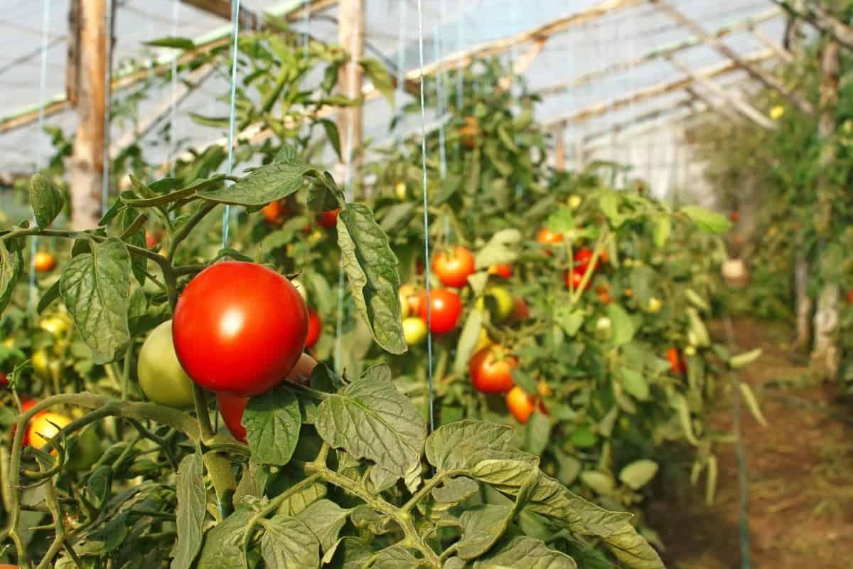 Какая оптимальная температура должна быть в теплице для помидор