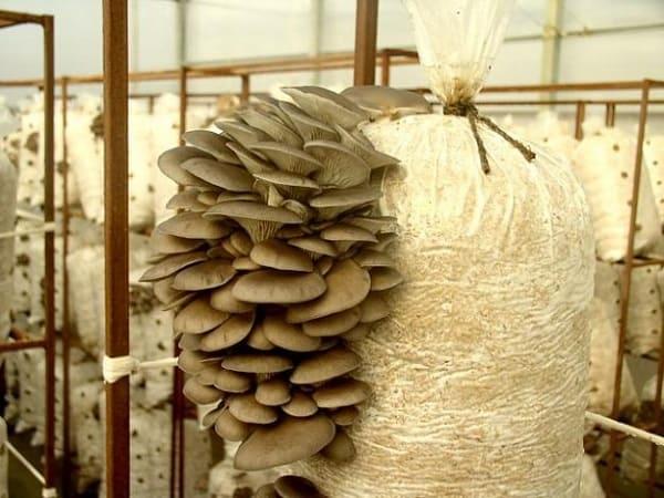 Выращивание вешенок в домашних условиях: пошаговая инструкция