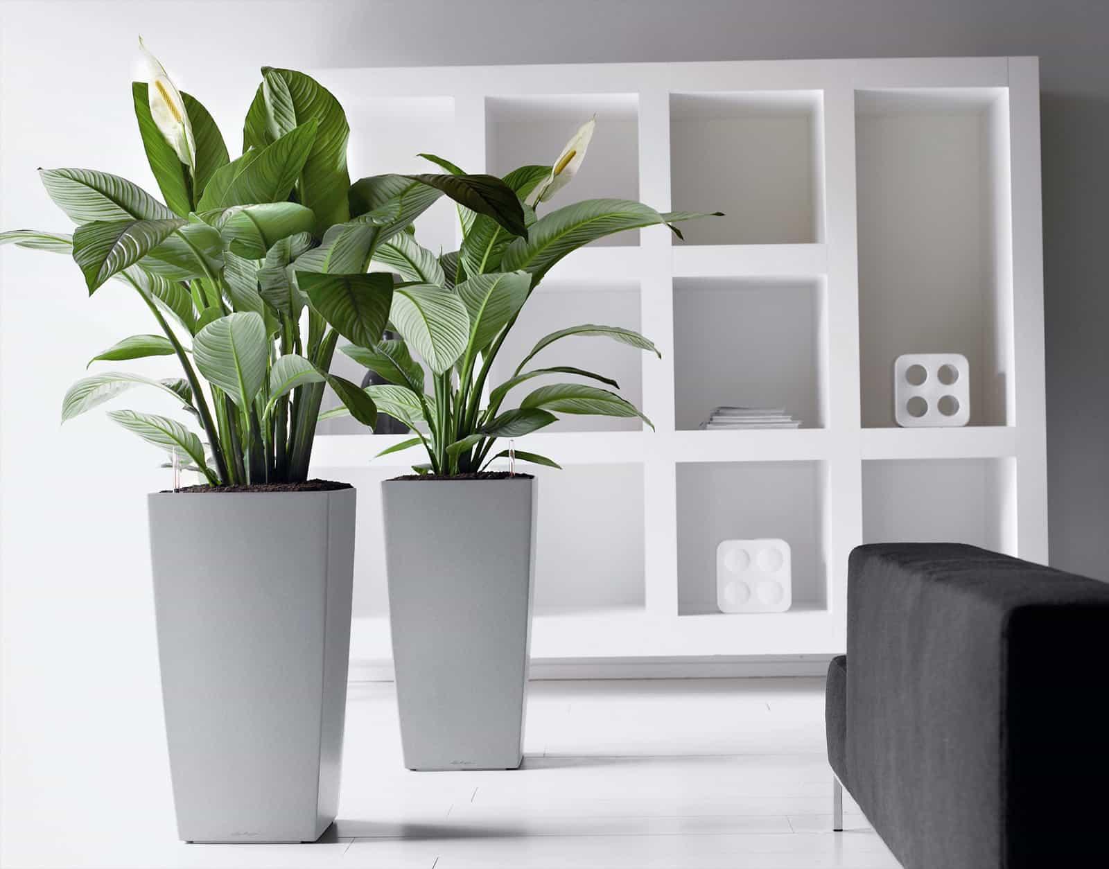 Родина комнатного растения спатифиллум. Уход, описание, видео