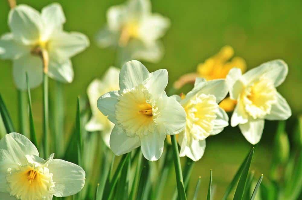 Когда и как пересаживать нарциссы после цветения