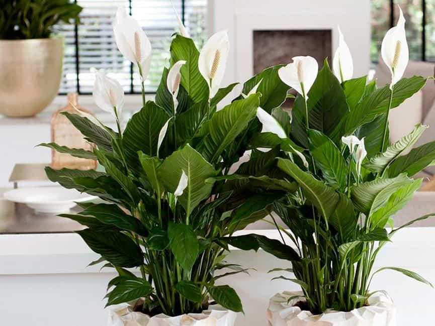 что решение комнатные растения женское счастье фото и названия последнее время отдыхая