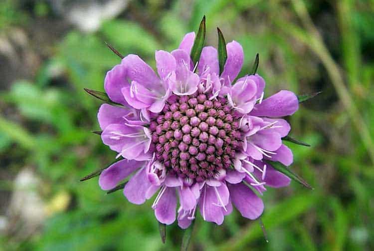 Цветы скабиоза (короставник) посадка и уход на даче