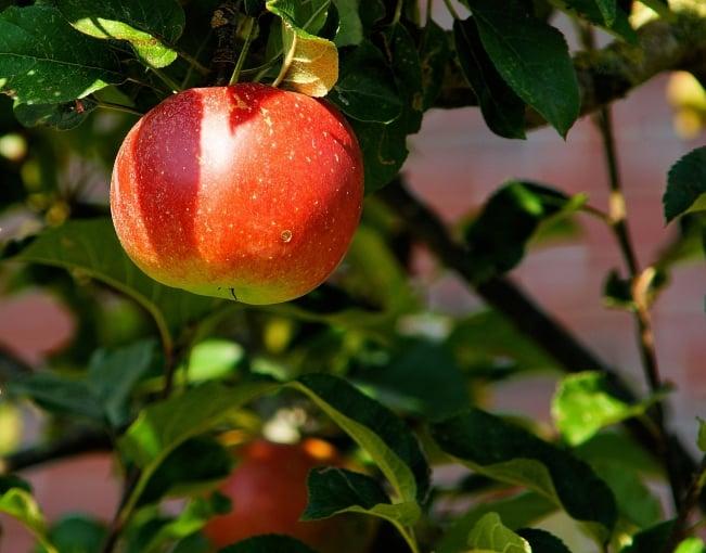 Тля на яблоне: как бороться, народные средства