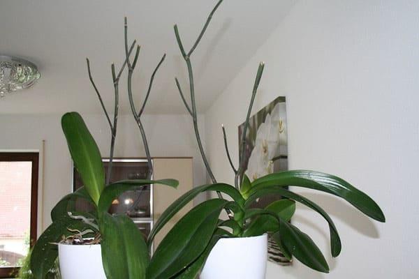 Когда орхидея отцвела что с ней делать