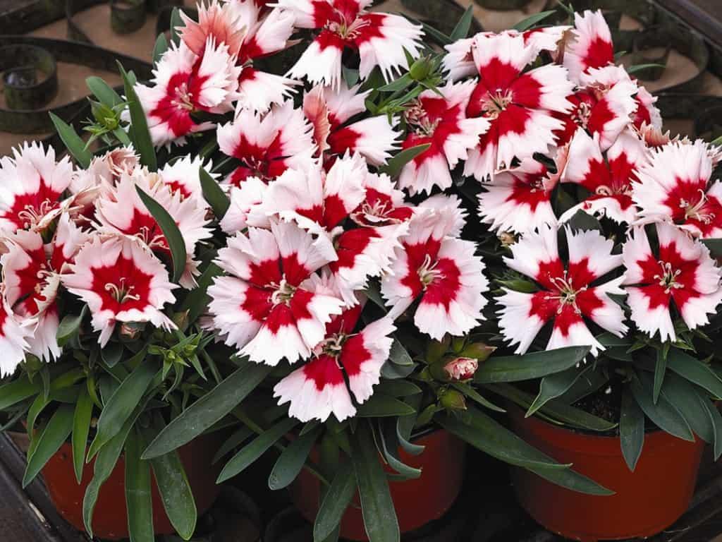 Гвоздика китайская, многолетняя - посадка и уход, фото цветка