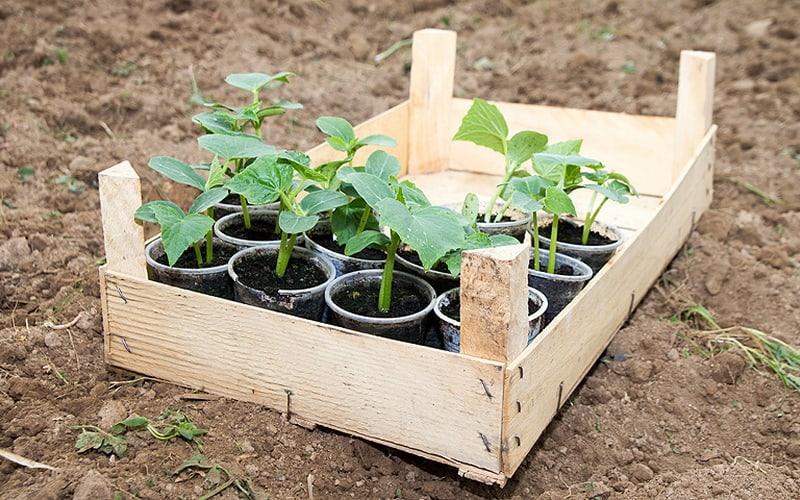 Как вырастить ранние огурцы в теплице