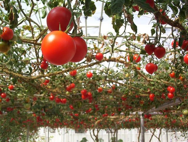 Когда высаживать помидоры в теплицу из поликарбоната и как правильно за ними ухаживать?