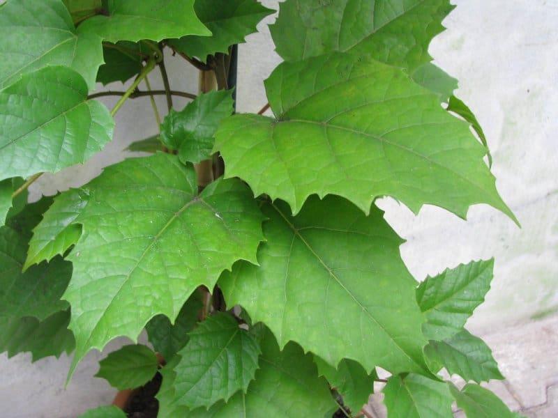 Комнатный виноград - выращивание и уход в домашних условиях * Vinograd-Loza