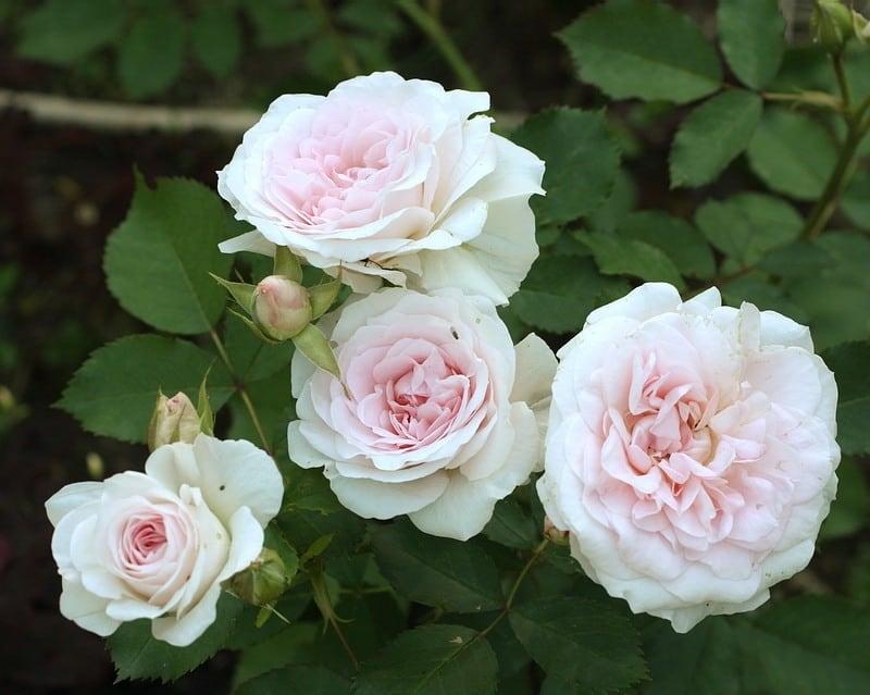При какой температуре воздуха нужно укрывать розы