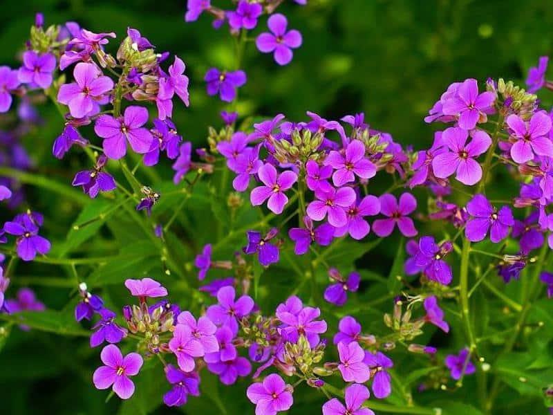 Маттиола красивый и ароматный садовый цветок