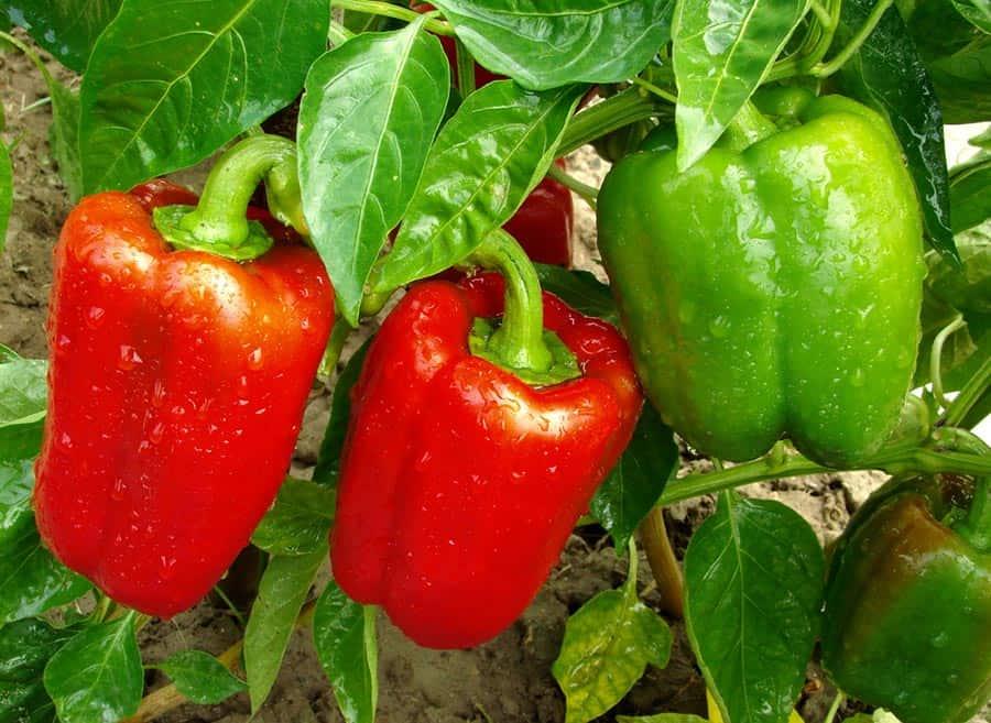 Как выращивать болгарский перец в открытом грунте