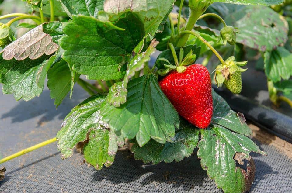 Клубника сорта Альбион: описание и отзывы садоводов, уход, фото
