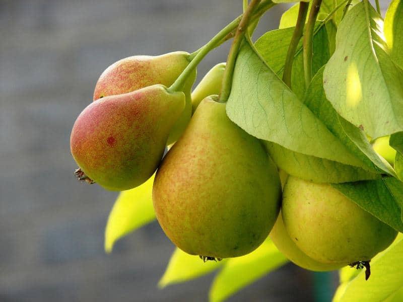 Характеристика деревьев и плодов груши Москвичка