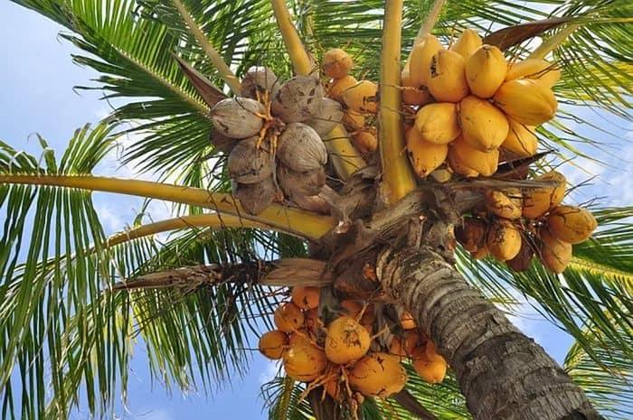 Выращивание рассады баклажан в кокосовых брикетах