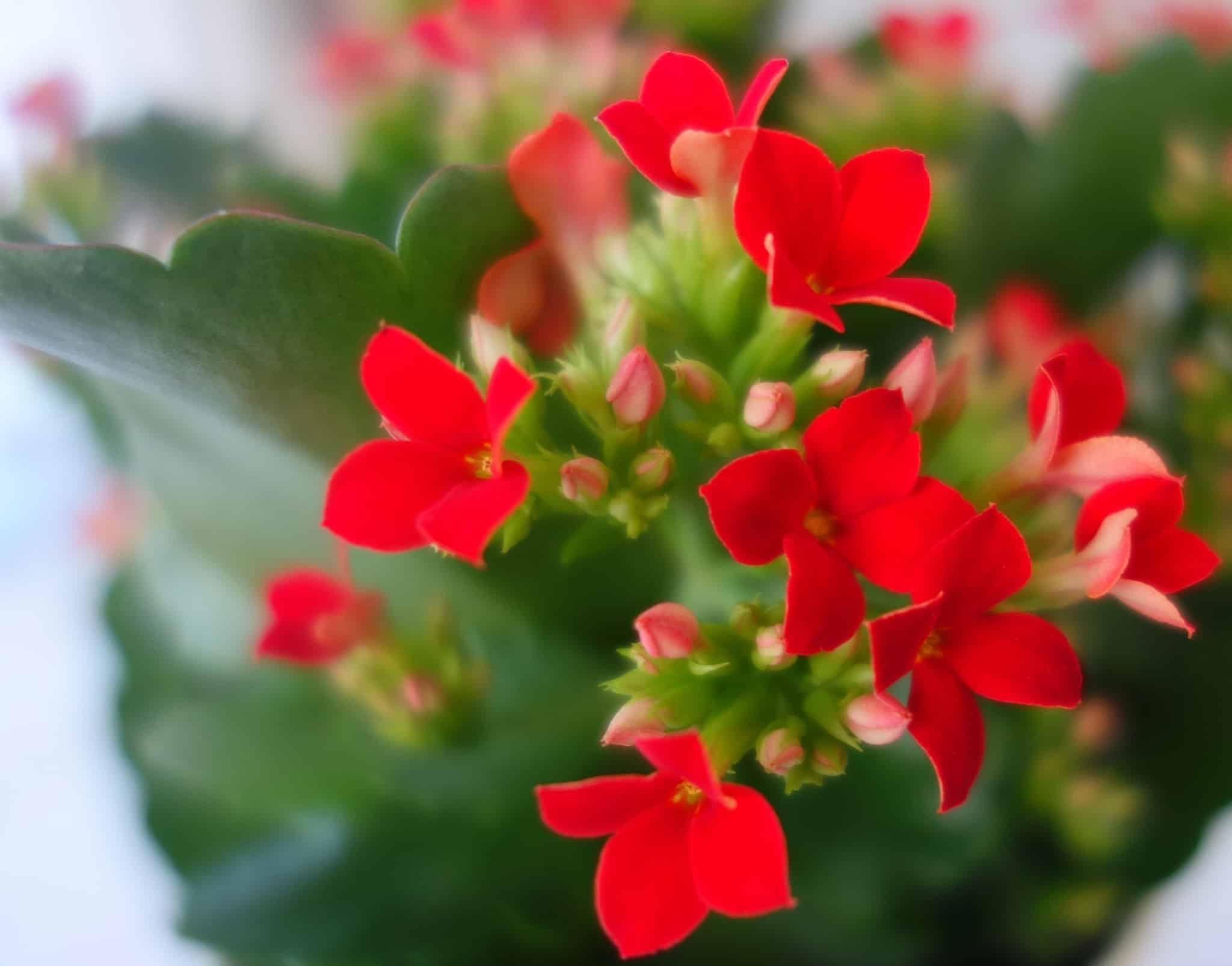 Почему не цветет каланхоэ - Мамин советник