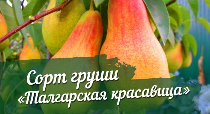 Описание сорта груши Талгарская красавица