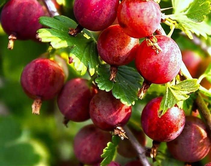 Сорт крыжовника Колобок: находка для садовода