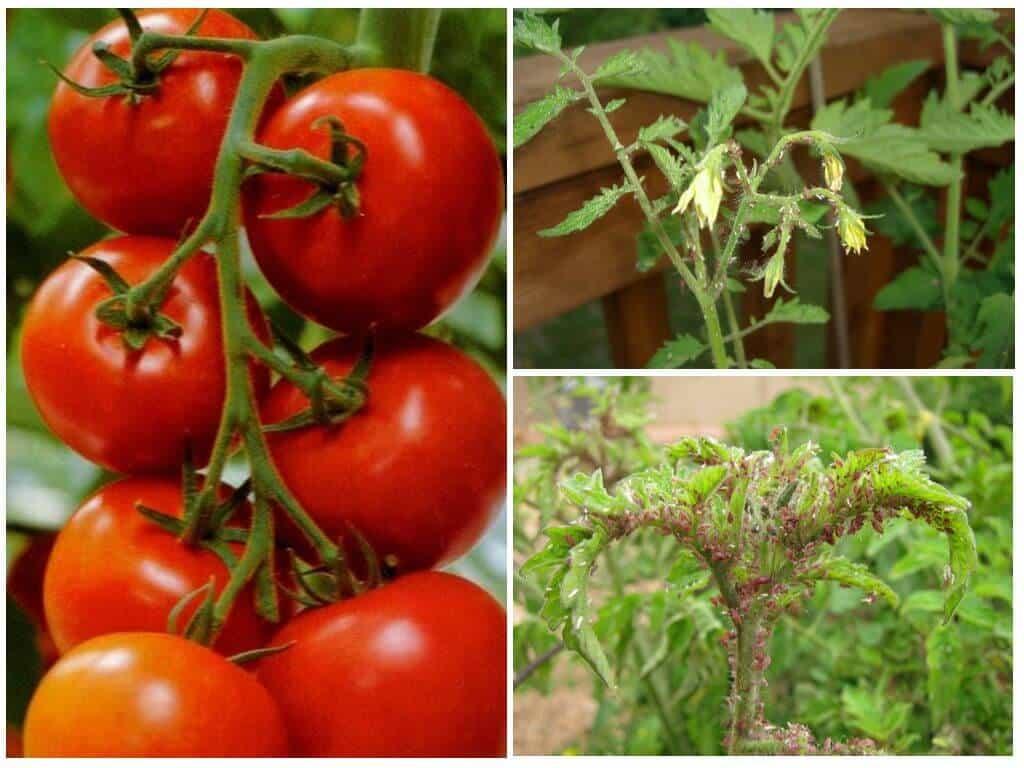 Тля на помидорах - чем обработать и как бороться