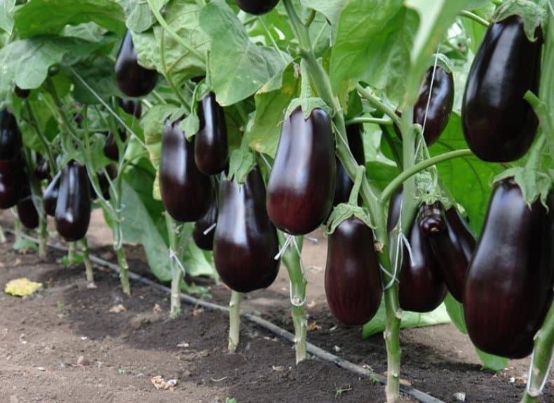Баклажаны выращивание и уход в теплице, как ухаживать   видео: Уход за баклажанами в теплице из поликарбоната » eТеплица
