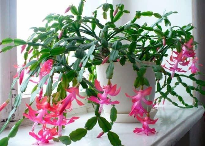 Родина декабриста комнатного растения