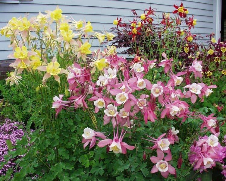 Аквилегия фото цветов на клумбе