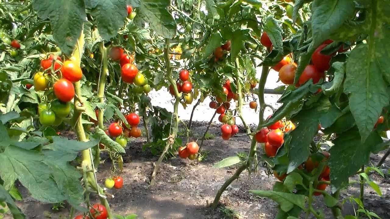 как поливать томаты в теплице из поликарбоната