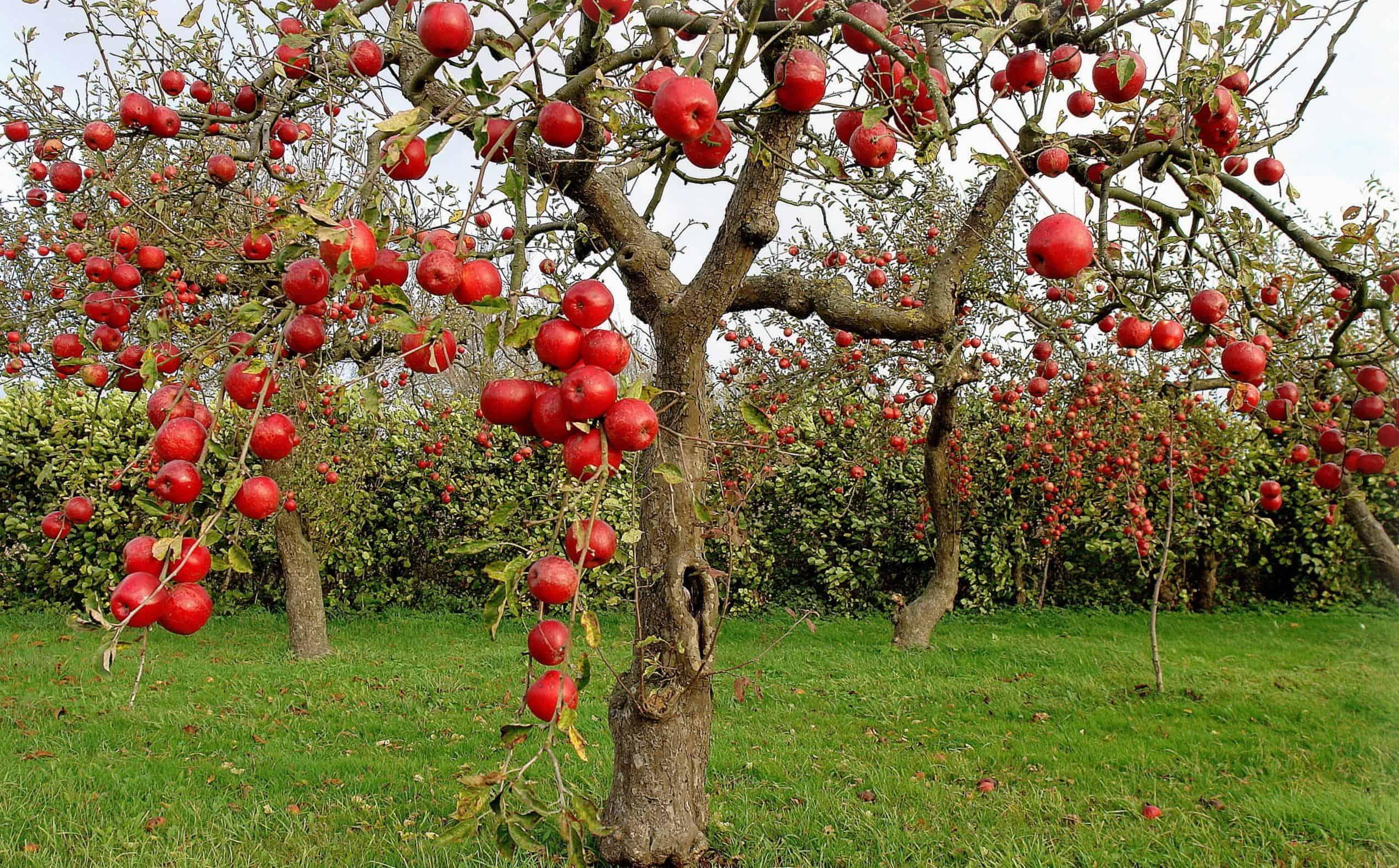 Уход за яблоней осенью и подготовка её к зиме