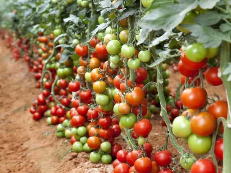 Внекорневая подкормка томатов в теплице
