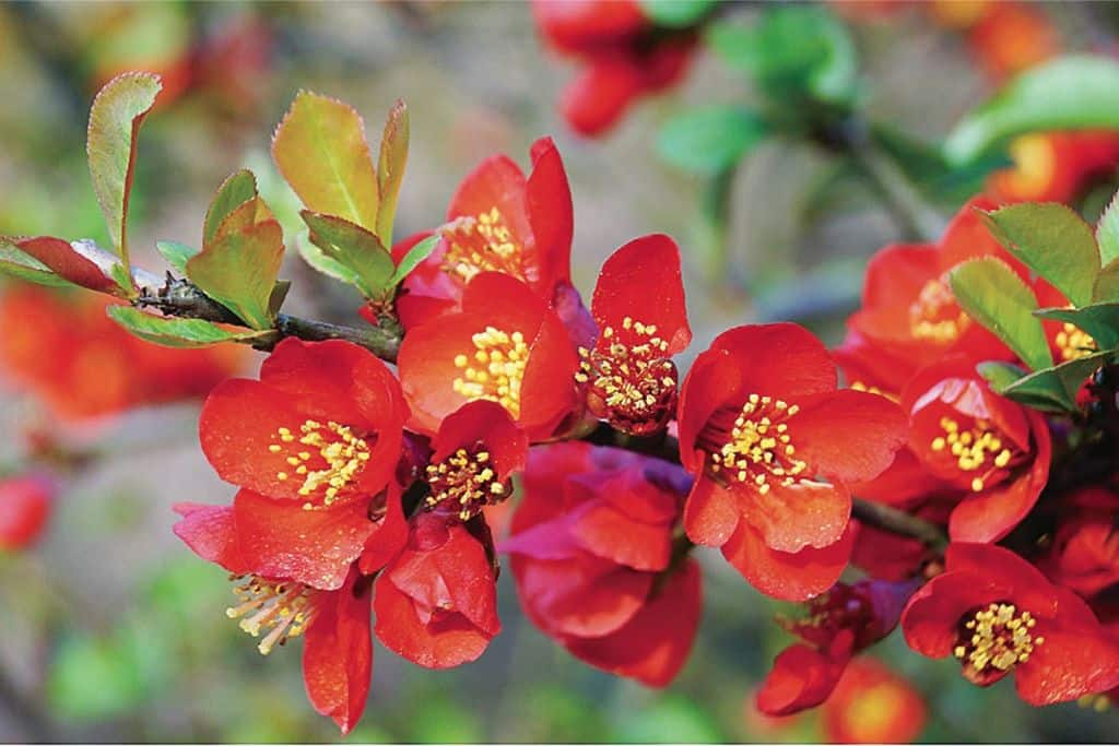 Айва японская фото и описание кустарника