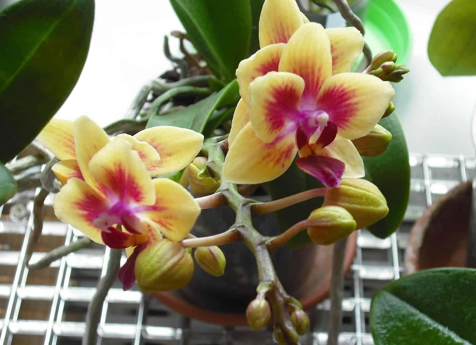 Как вырастить орхидею из семян в домашних