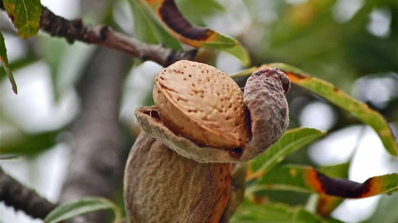 Миндальное дерево: как растет миндальный орех, что такое, как выглядит