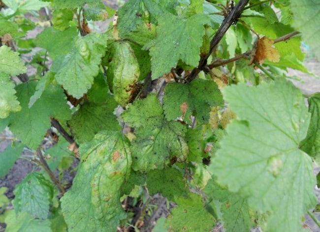 Причины скручивания листьев у смородины
