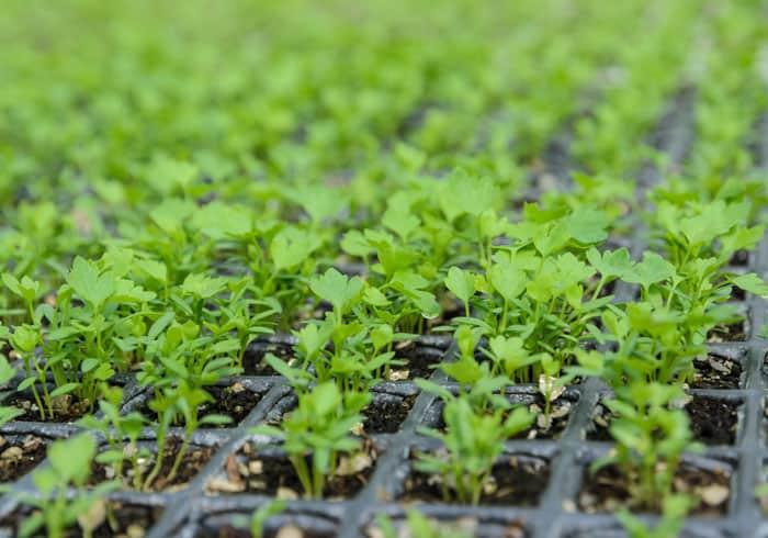 Технология выращивания листового сельдерея из семян