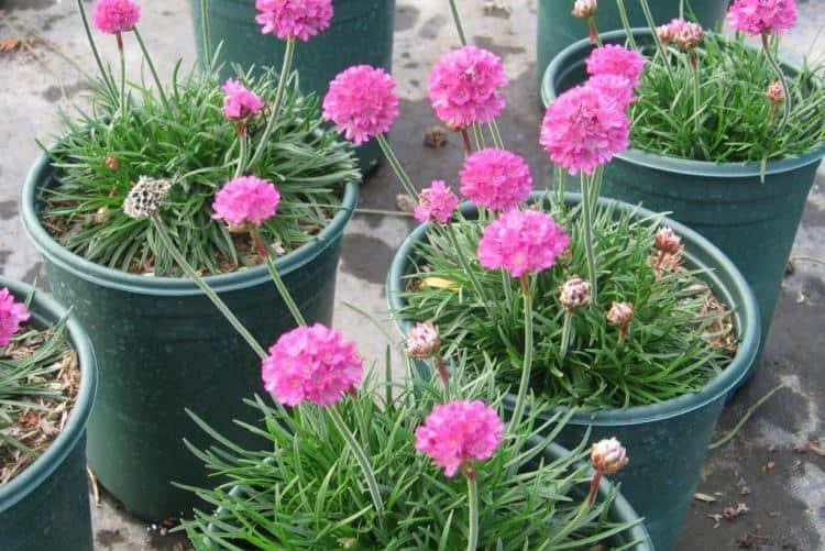 Армерия приморская- выращивание из семян, посадка и уход, сорта