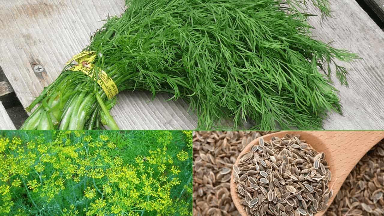 Как сажать укроп семенами в открытый грунт семенами