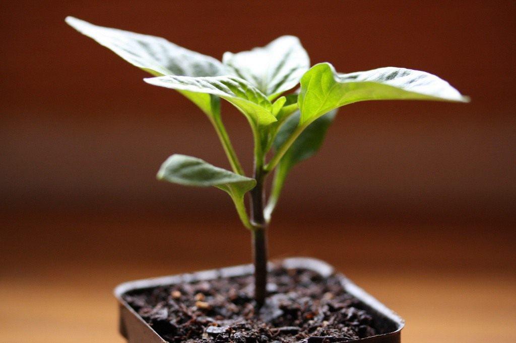 Почему опадают листья у рассады перца дома. Почему у рассады салатного перца вянут опадают листья