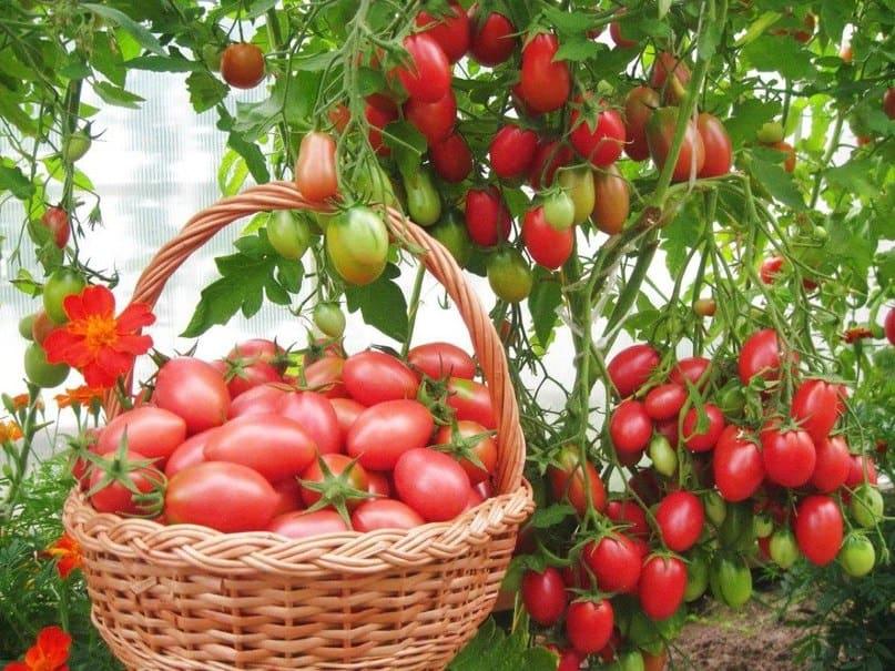 Лучшие сорта семян помидор для открытого грунта