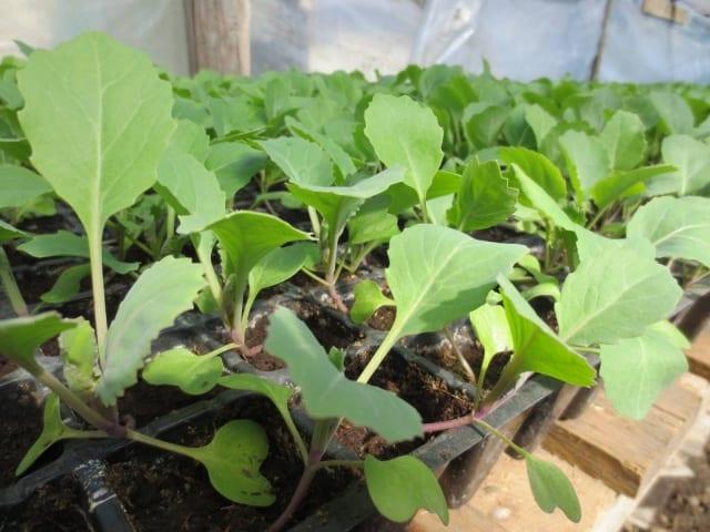 Как правильно сажать капусту в открытый грунт