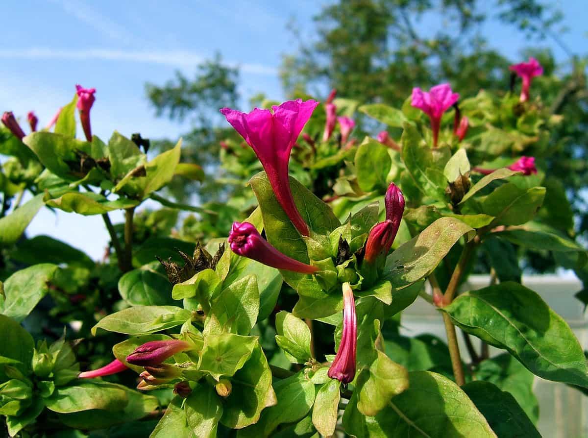 Ночной цветок мирабилис: все, что нужно знать о сортах, посадке и уходе