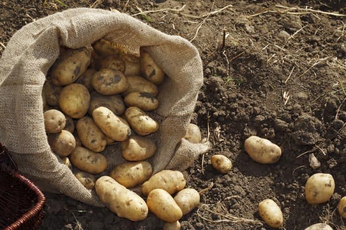 Посадка и выращивание картофеля под соломой и сеном