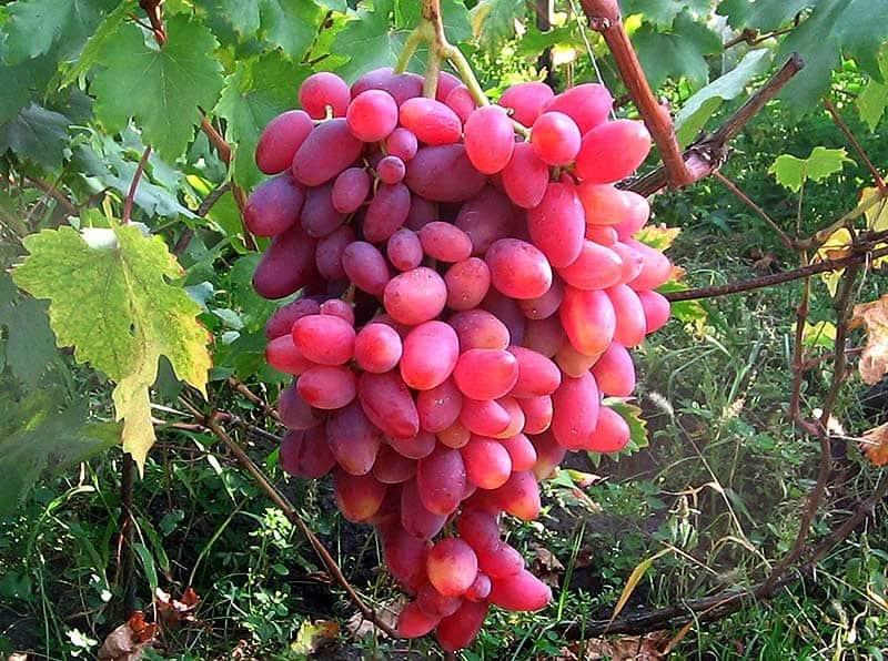 Виноград Юбилей Новочеркасска: описание сорта, фото и отзывы