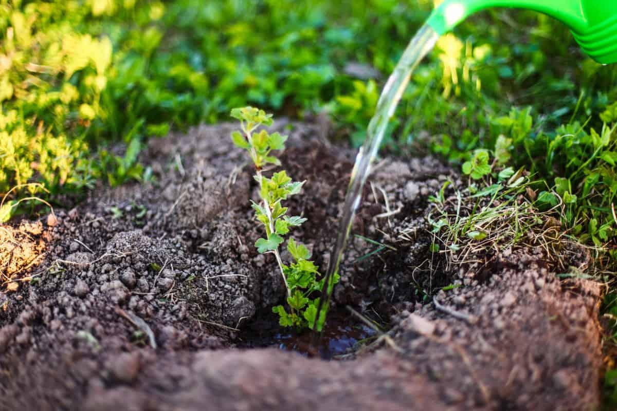 Советы по посадке крыжовника на участке. Секреты опытных садоводов по уходу за кустарником