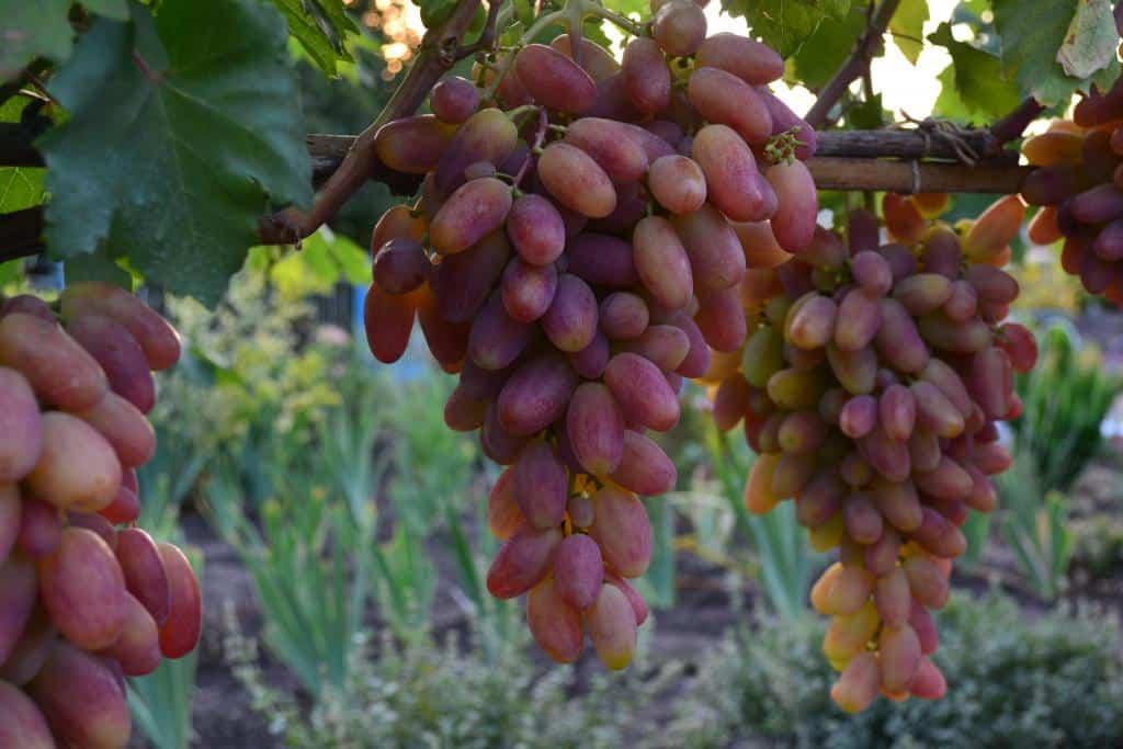 Все сорта винограда по алфавиту