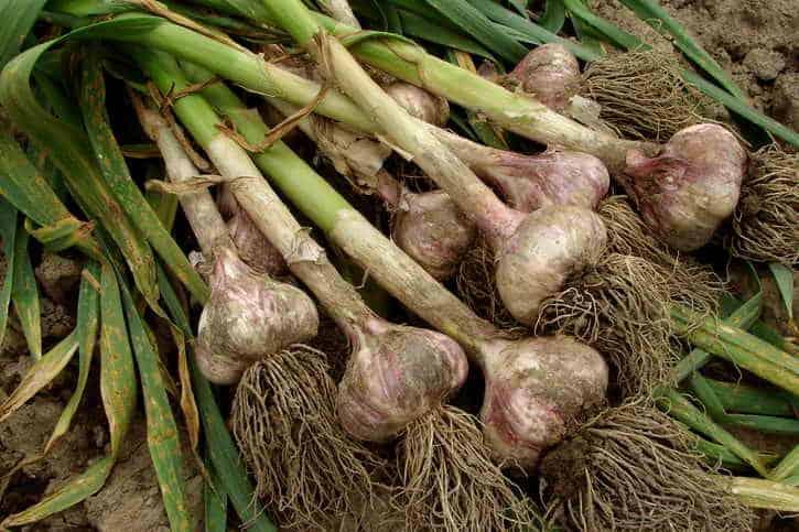 Урожайность чеснока с 1 сотки и 1 га: сколько можно собрать и как выращивать в больших масштабах – норма высева и урожайность с гектара