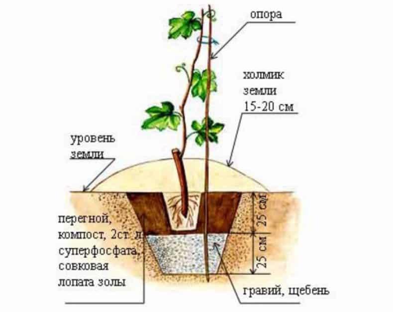Правильная посадка винограда осенью - Справочник дачника
