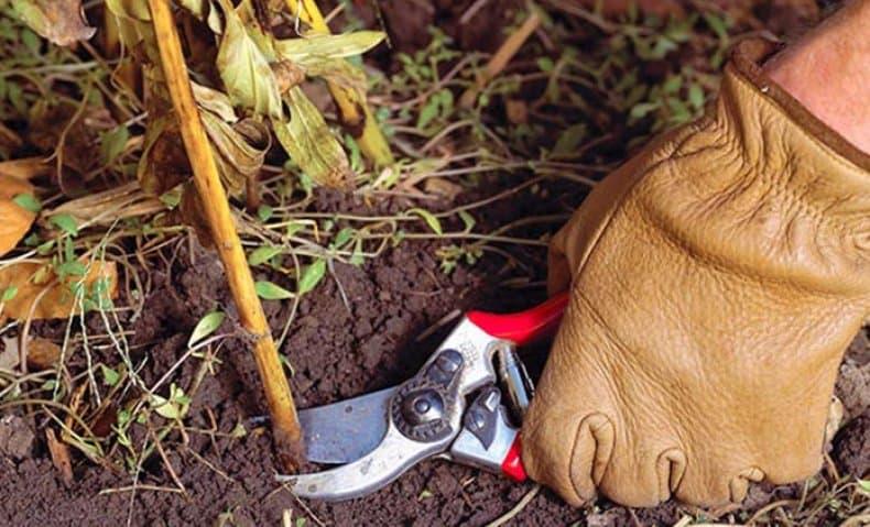Нужно ли укрывать пионы на зиму{q} Как подготовить пионы к зиме{q}