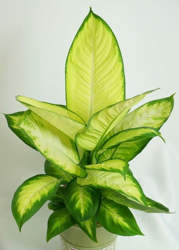Почему сохнут листья у диффенбахии